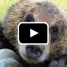 Photo: Closeup of bear's face in background, play button in foreground.