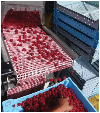 Image of Raspberry fruit harvest