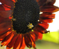 Bees_Collect_Sunflower_Pollen_at_the_Tukey_Orchard_Organic_Farm_details