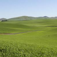 Pea_fields_on_palouse_hills (1)