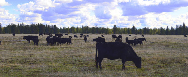 Rangeland cows