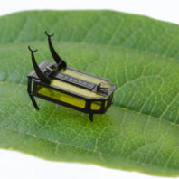 Closeup of the Robeetle, a tiny 88 milligram robot, walking across a leaf.