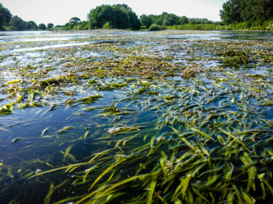 Water stargrass in the Yakima River