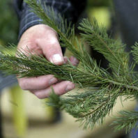 A close up of a green Christmas tree branch being held by Gary Chastagner