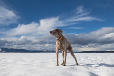 A dog stands over a frozen tundra looking onward