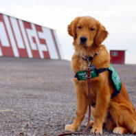 Golden retriever Fairview sitting in front of a Cougs sign