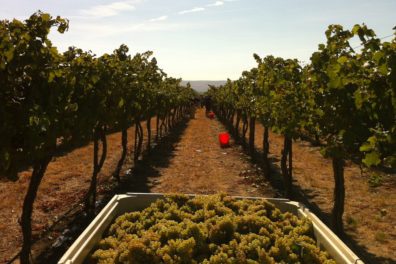 Grapes sitting in a harvest bin in front of grape vines