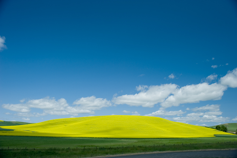 Image of a canola field.