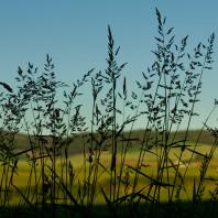 Image of wheat plants.