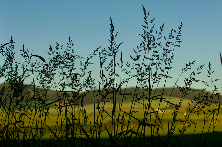 Image of wheat plants.