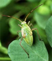 alfalfa-plant-bug