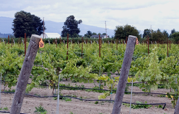 The 2.5-acre certified organic vineyard at WSU's research cetner in Mount Vernon.