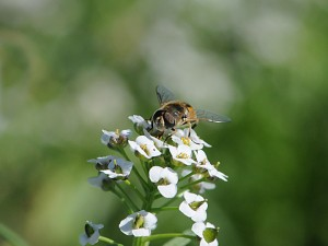 Syrphid on alyssum. Click image for high resolution version. Photo: Betsy Beers/WSU