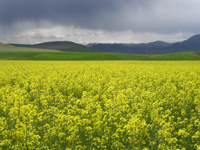 Winter canola in bloom near Omak.