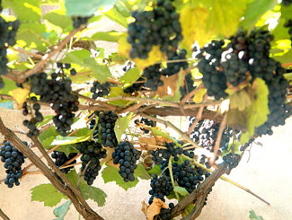 Georgia's climate is excellent for wine-grape growing; there are dozens of varieties of wine made in Georgia.