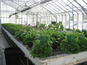 Inside one of the Wilson Road greenhouses; photo courtesy of WSU Hort Club