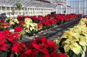 Poinsettias in the old Wilson Road greenhouses