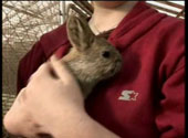 Click to watch a video about WSU's pygmy rabbit breeding program