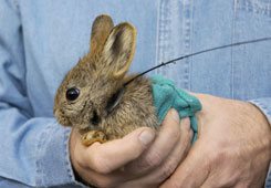 Endangered pygmy rabbit wearing radio collar - WSU Photo 2007