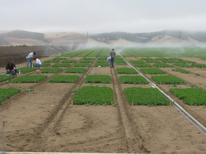 John Kuhn in the spinach fields of California