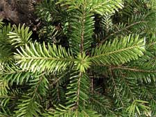 New research will address Christmas tree issues--and possibly expand the market for live trees.