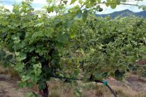 Grape showing continued 2,4-D injury the year AFTER exposure. Vines can show injury for several years due to one exposure. Photo: Jay W. Pscheidt, Oregon State Univeristy, from the PNW Plant Disease Handbook, http://bit.ly/14ODQC9.