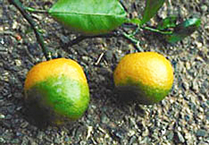 Citrus affected by citrus greening disease. (Photo courtesy of the U.S. Department of Agriculture)