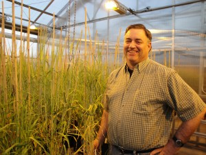 Senior scientific assistant Steve Lyon, shown with wheat plants maturing in a WSU Mount Vernon greenhouse, has been involved in WSU small grains research for more than 22 years.