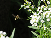 A syrphid hovers over alyssum.