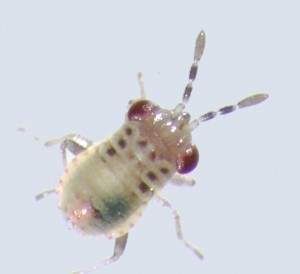 Natural predators like bigeyed bugs feed on aphids. Photo by Bill Snyder/WSU.