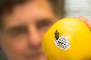 A brown marmorated stink bug circles an apple held by WSU entomologist Richard Zack. (Photo by Robert Hubner, WSU)