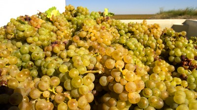 Whitewinegrapes