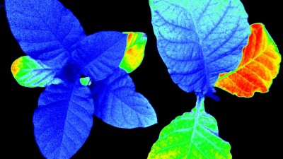 This false color image shows the differences in fluorescence that the phenomics cameras see when they scan plants.
