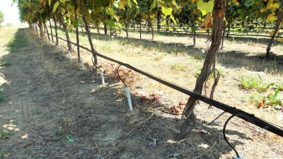 Subsurface microirrigation system for 12-year-old grape vines at WSU Roza Research Farm near Prosser, Wash. Photo by Pete Jacoby, WSU.