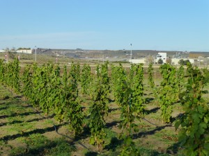 The research and testing vineyard at the Wine Science Center overlooking Sagemoor Vineyards in Pasco.