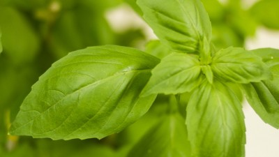 Researchers clip the small leaves of the basil plant because the glandular trichomes are more densely clustered there than on the more mature leaves.