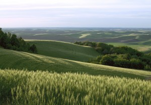 Strips of wooded buffers intermingle with wheat fields in Washington's Palouse landscape. (Photo courtesy www.AlisonMeyerPhotography.com)