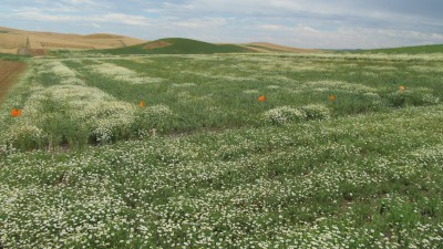 A WSU research plot explores broadleaf weed control.