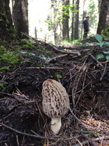 A morel mushroom near Deary, Idaho, just before it was removed with a knife recently. (Photo courtesy of Tim Stassines)