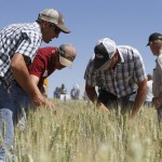 Farmers take a closer look at winter wheat varieties being tested at Lind Dryland Research Station.