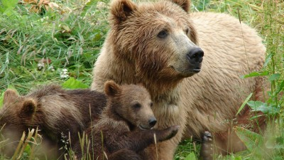 A grizzly bear with her cubs at the WSU bear center.