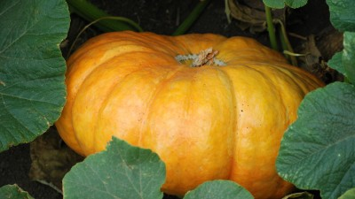 2-pumpkin-cinderella-web