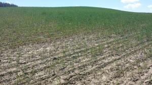 Winter wheat affected by acidic soil. Photo: Carol McFarland/WSU.