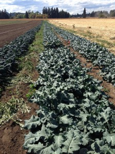 Broccoli is planted in an on-farm organic strip-till trial at Rochester, Wash.