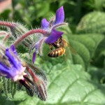 Honey bee on borage flower. Photo by Sylvia Kantor/WSU.