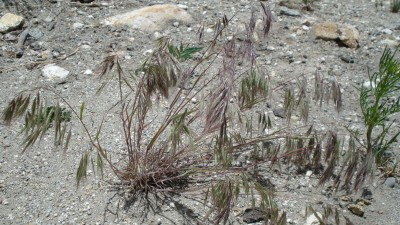 Invasive cheatgrass can be fought with soil bacteria, in methods being explored by Ann Kennedy, a USDA-ARS scientist at Washington State University.