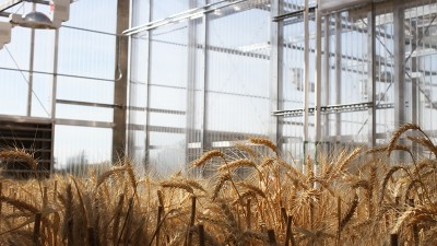 Experimental crops at the newly expanded, state-of-the-art Plant Growth Facility at WSU will help the state's wheat and barley growers.