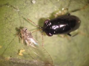 A potato psyllid, left, is eaten by a predatory big-eyed bug.