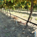 Sub-surface micro-irrigation in a vineyard