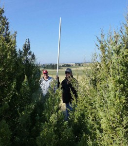 Gary Kuhn, left and Dennis Robinson, retired NRCS foresters, measure juniper trees at the Davenport Living Snow Fence after 10 years of growth. (Photo by Andy Perleberg, WSU Extension)